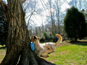 Dog-Is-Too-Excited-To-Watch-Out-For-Trees-While-Playing-With-a-Frisbee